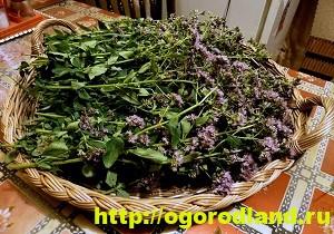 Пряные травы. Выращивание и применение