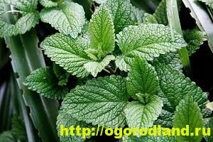 Выращивание лекарственных растений дома. Часть 1