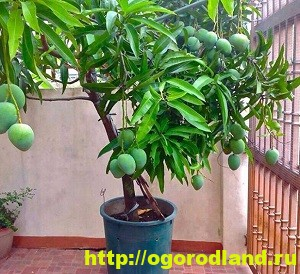 Как вырастить деревья с экзотическими фруктами из косточки дома