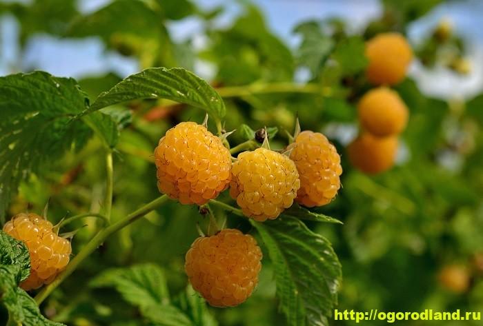Малина Абрикосовая – описание сорта, выращивание и уход 1