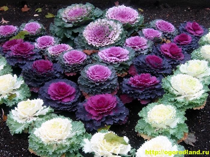 Декоративная капуста – как вырастить необычное растение 1