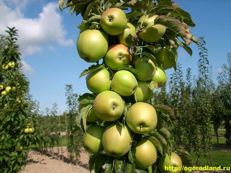 Выращивание колоновидных сортов яблонь