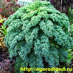 Декоративная капуста – как вырастить необычное растение 2