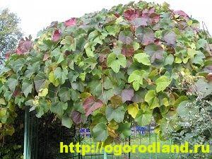 Девичий виноград. Примеры композиций для ландшафтного дизайна 6