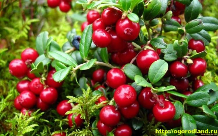 Брусника – история и интересные факты. Выращивание брусники