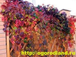 Девичий виноград. Примеры композиций для ландшафтного дизайна 5