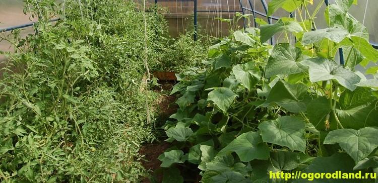 Огурцы и помидоры в одной теплице. Особенности выращивания 14