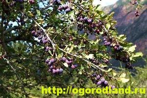 Барбарис. Выращивание барбариса и его сорта 6