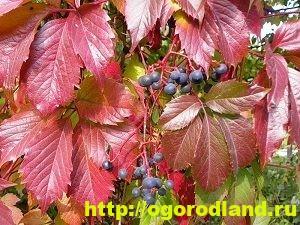 Девичий виноград пятилисточковый и триостренный. Выращивание