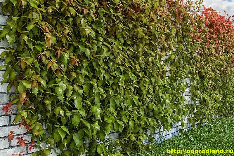 Девичий виноград пятилисточковый и триостренный. Выращивание 18