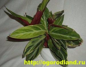 Строманта. Выращивание и правильный уход