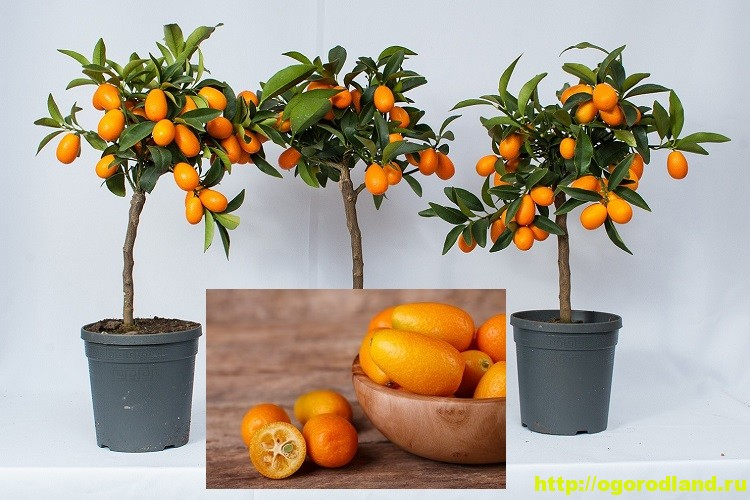 Кумкват. Что это за фрукт? Как вырастить кумкват у себя дома 1