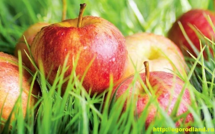 Полезные яблоки. Яблочная диета. Яблоки в народной медицине 3