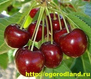 Черешня - сорта, выращивание, уход, происхождение