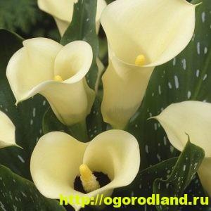 Каллы - сорта и виды 6