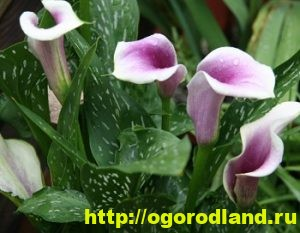 Каллы - сорта и виды 5