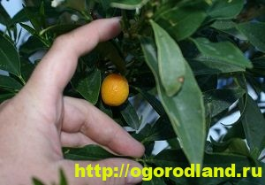 Кумкват. Что это за фрукт? Как вырастить кумкват у себя дома 5