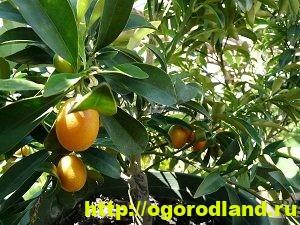 Кумкват. Что это за фрукт? Как вырастить кумкват у себя дома