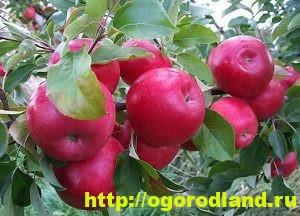 Сорта яблок с описанием. Советы по посадке, уходу за яблоней 10