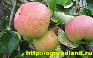 Сорта яблок с описанием. Советы по посадке, уходу за яблоней 11