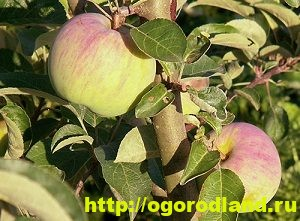 Сорта яблок с описанием. Советы по посадке, уходу за яблоней 13