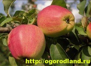 Сорта яблок с описанием. Советы по посадке, уходу за яблоней 14