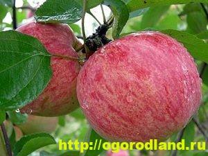 Сорта яблок с описанием. Советы по посадке, уходу за яблоней 8