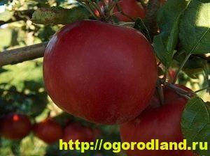 Сорта яблок с описанием. Советы по посадке, уходу за яблоней 6