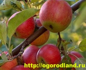 Сорта яблок с описанием. Советы по посадке, уходу за яблоней 5