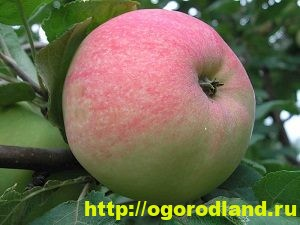 Сорта яблок с описанием. Советы по посадке, уходу за яблоней 3