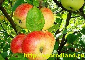 Сорта яблок с описанием. Советы по посадке, уходу за яблоней 7