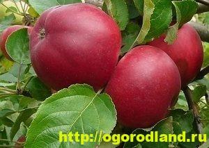 Сорта яблок с описанием. Советы по посадке, уходу за яблоней 12