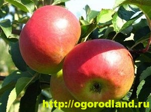 Сорта яблок с описанием. Советы по посадке, уходу за яблоней 9