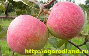 Сорта яблок с описанием. Советы по посадке, уходу за яблоней 4