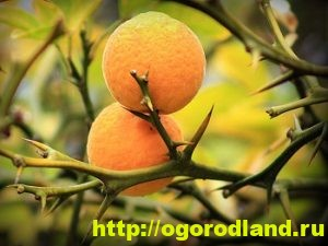 Выращивание апельсина в домашних условиях. Сорта апельсина