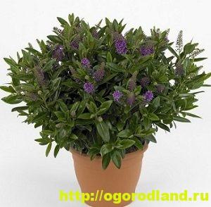 Хебе – вечнозеленый кустарник. Выращивание и уход за хебе