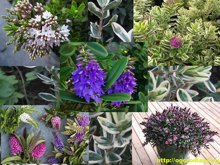 Хебе – вечнозеленый кустарник. Выращивание и уход за хебе 15