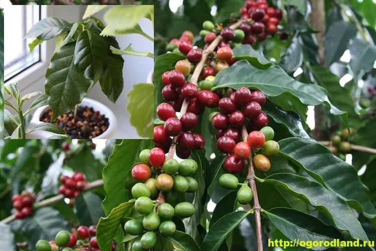 Кофе. Сорта Кофе. Как вырастить кофейное дерево у себя дома