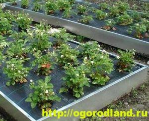 Способы выращивания клубники на различных участках 2