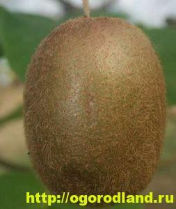 Выращивание киви. Сорта киви. Посадка киви и уход