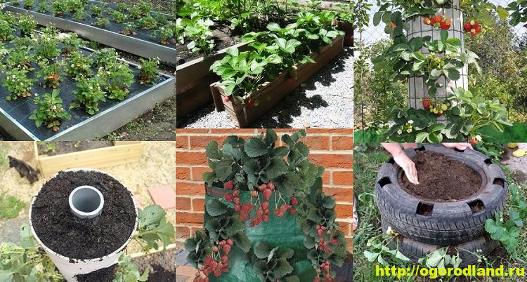 Способы выращивания клубники на различных участках 1