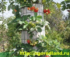 Способы выращивания клубники на различных участках 5