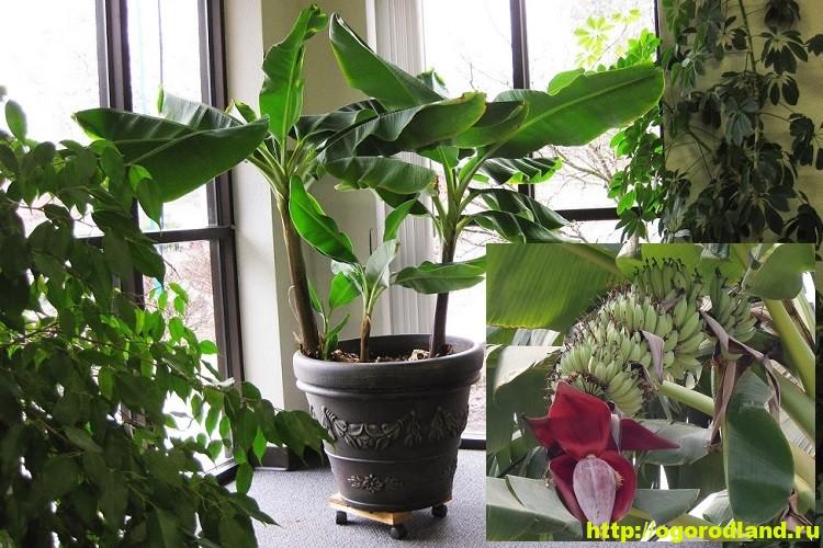 Выращивание банана в домашних условиях. Сорта банана