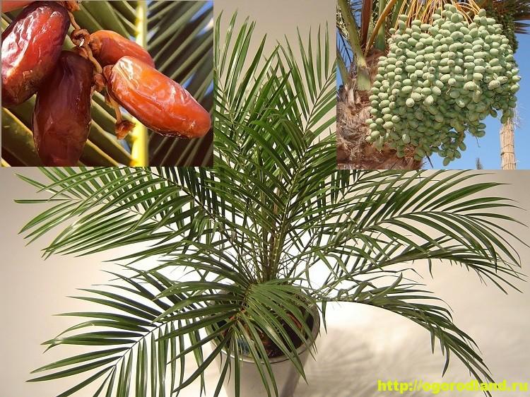 Выращивание финиковой пальмы у себя дома. Сорта фиников