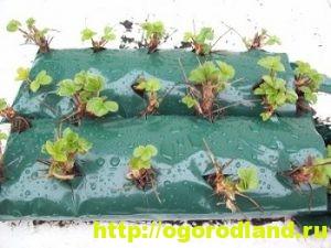 Способы выращивания клубники на различных участках 4