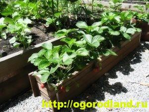 Способы выращивания клубники на различных участках 9