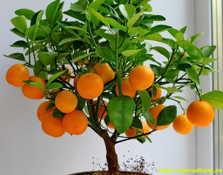 Выращивание мандарина в домашних условиях. Сорта мандарина