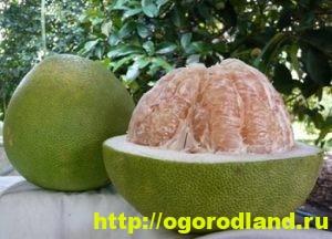 Выращивание грейпфрута в домашних условиях. Сорта грейпфрута 2