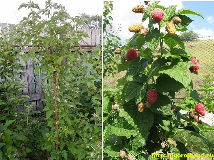 Малиновое дерево (штамбовая малина). Сорта. Выращивание