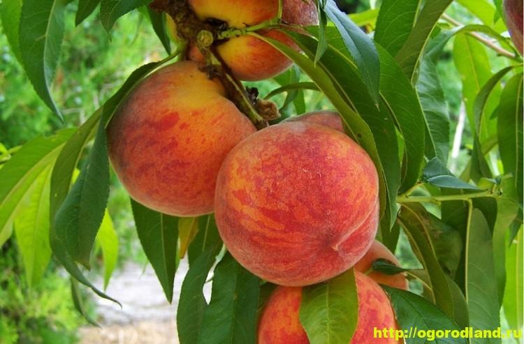 Персик. Сорта персиков. Выращивание персика (посадка и уход)